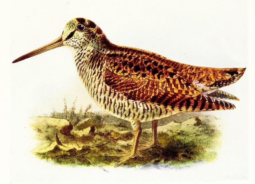 Birds of Britain - Woodcock (1907)