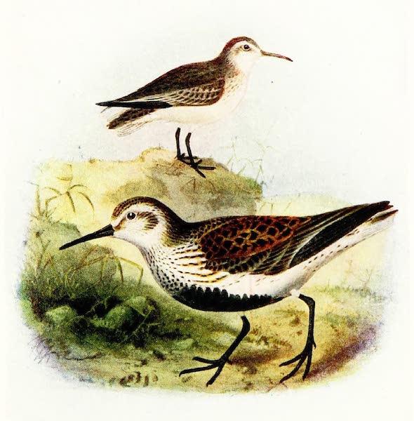 Birds of Britain - Dunlin (1907)