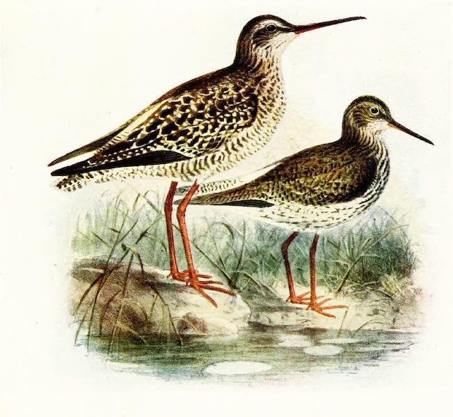 Birds of Britain - Redshank (1907)