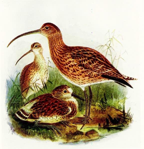 Birds of Britain - Curlew (1907)