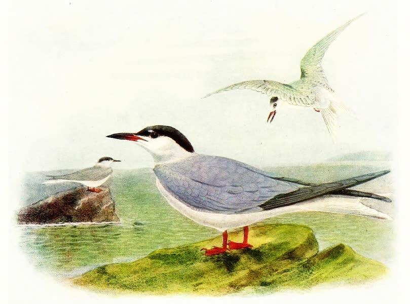 Birds of Britain - Common Tern (1907)