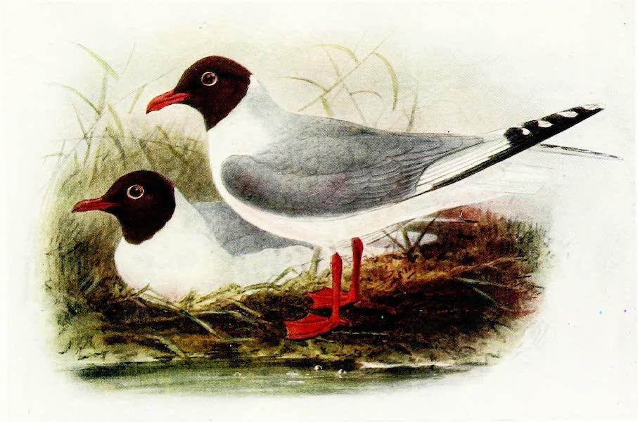 Birds of Britain - Black-headed Gull (1907)