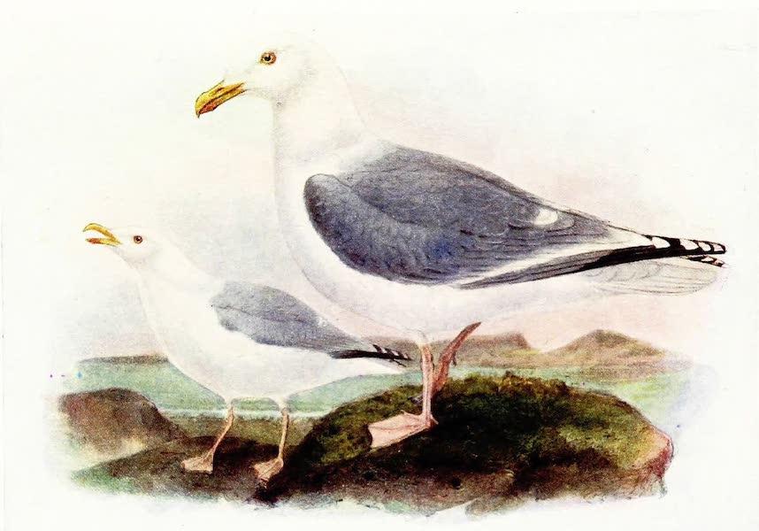 Birds of Britain - Herring Gull (1907)