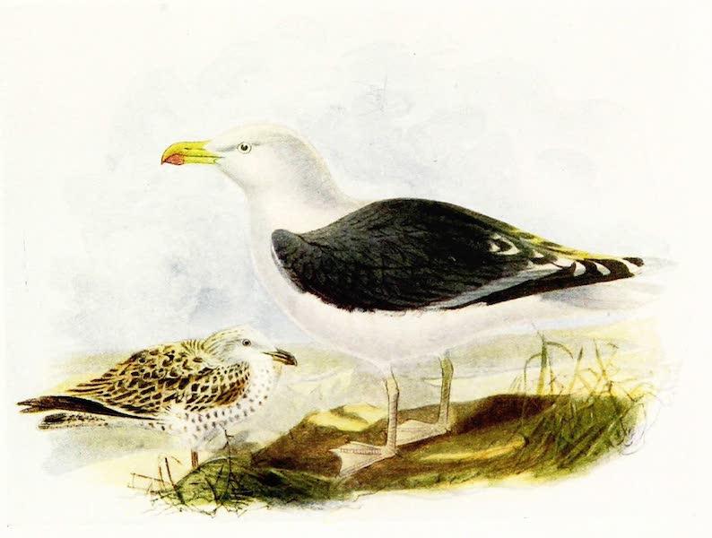 Birds of Britain - Greater Black-backed Gull (1907)