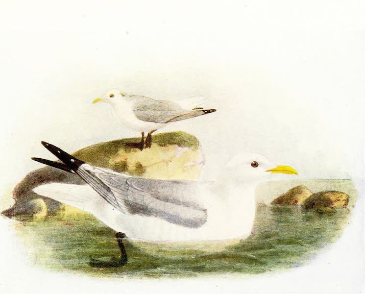 Birds of Britain - Kittiwake (1907)