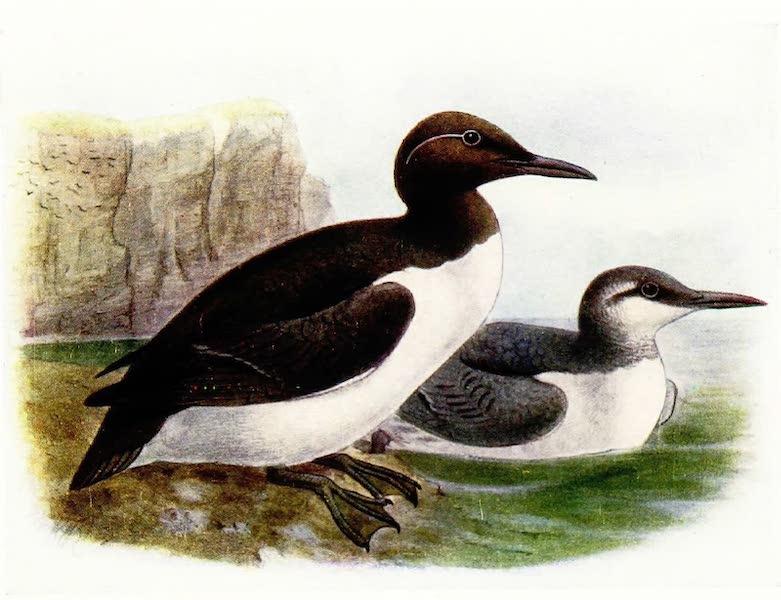 Birds of Britain - Common Guillemot (1907)