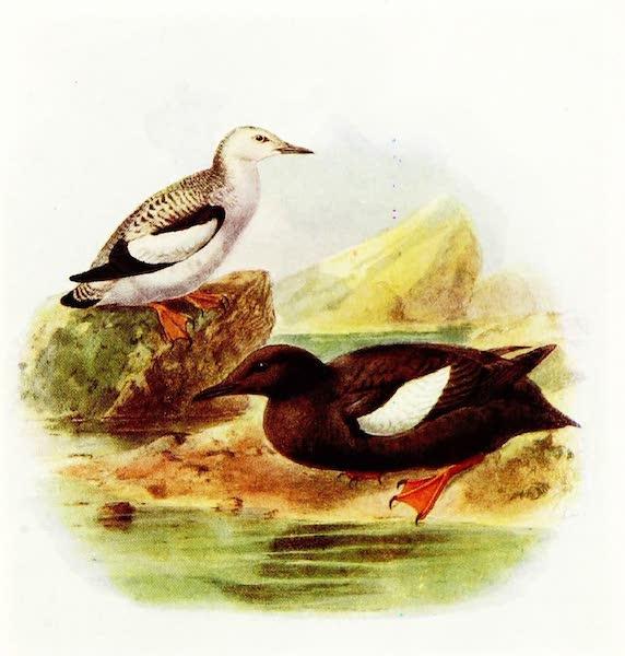 Birds of Britain - Black Guillemot (1907)