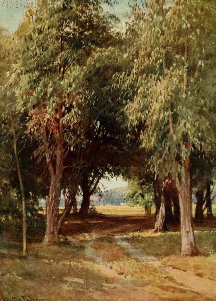 California : The Land of the Sun - A Eucalyptus Grove (1914)