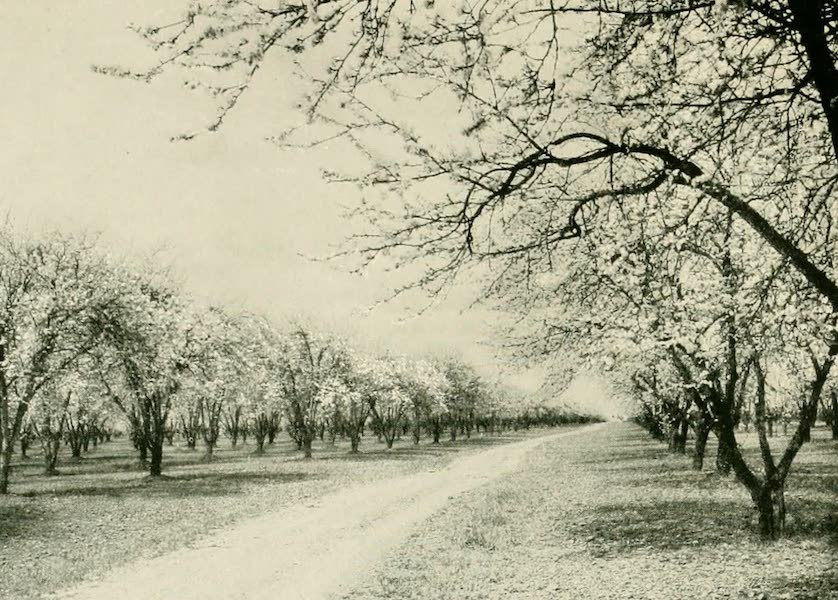 California the Wonderful - A prune orchard in blossom (1914)