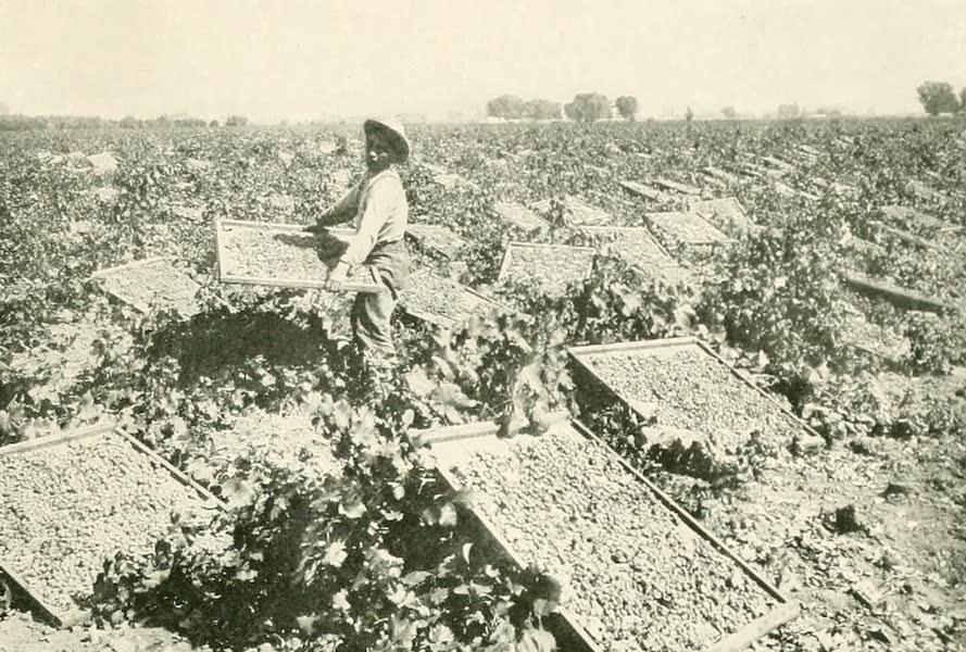 California the Wonderful - Raisin-drying racks in a vineyard near Fresno (1914)