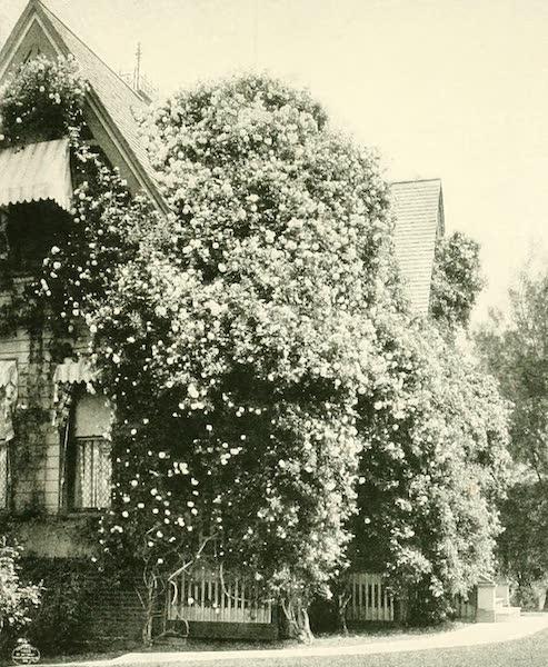 California the Wonderful - A Gold of Ophir rose bush (1914)