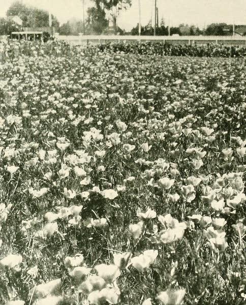 California the Wonderful - A field of California poppies (1914)