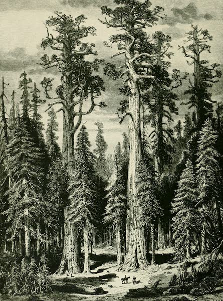 California the Wonderful - Big Trees, Mariposa Grove (1914)