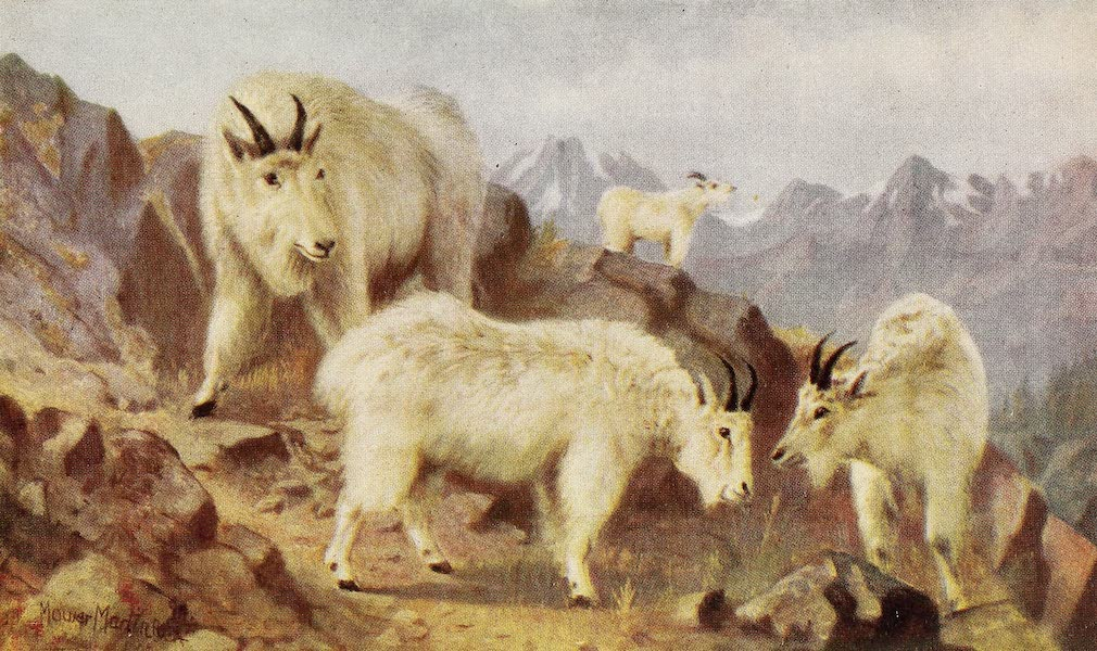Canada, Painted and Described - Mountain Goats Feeding (1907)