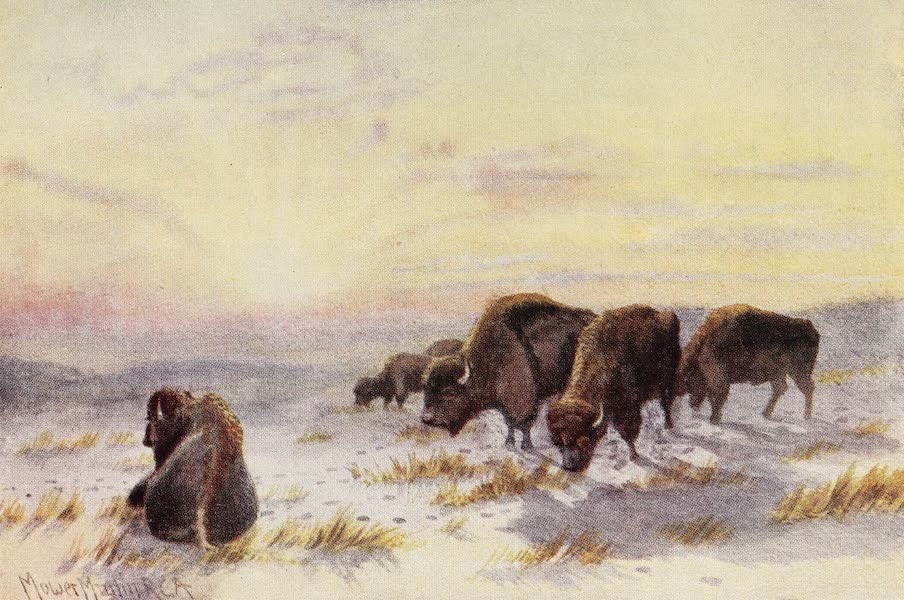 Canada, Painted and Described - Buffalo Feeding in Winter (1907)
