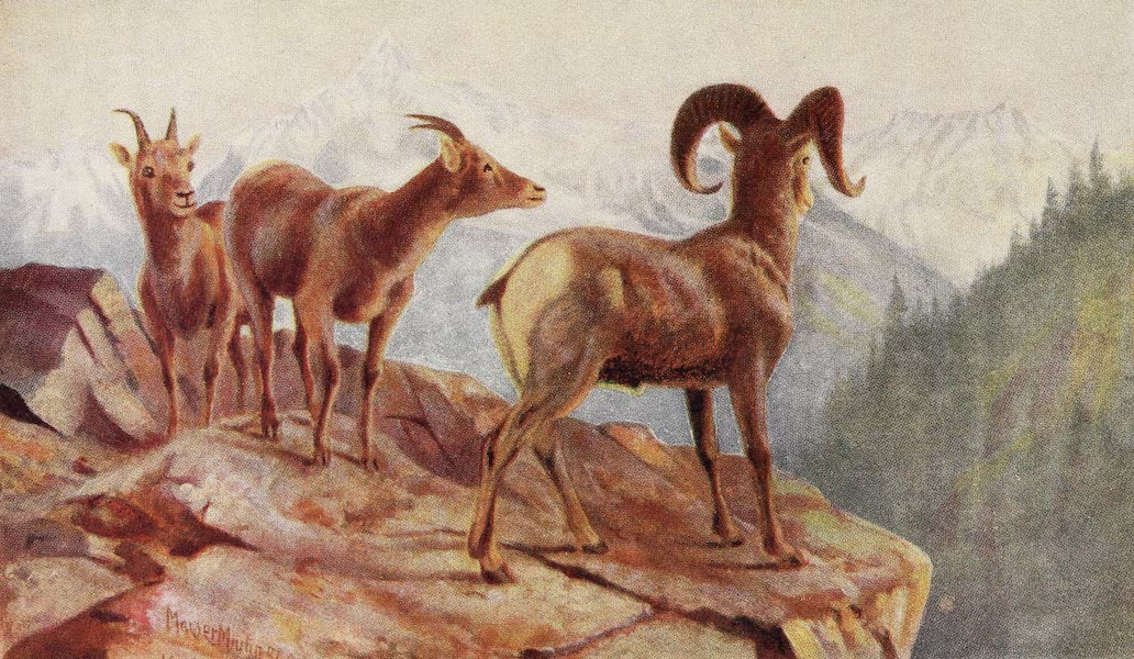 Canada, Painted and Described - Mountain Sheep at Home (1907)