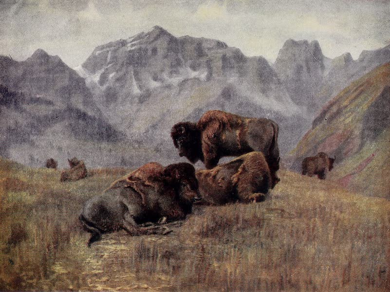 Canada, Painted and Described - Buffalo in Summer-Time, on Bow Range, near Banff (1907)