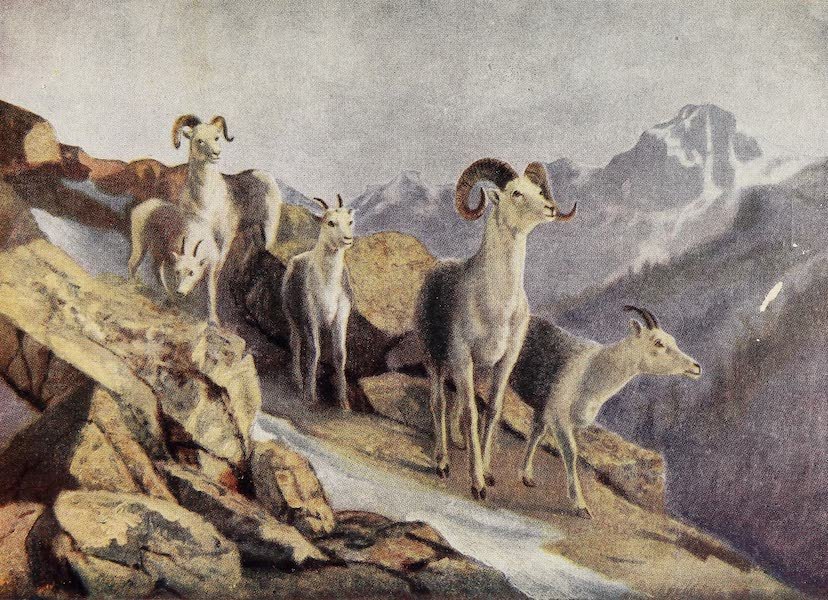 Canada, Painted and Described - Fanning Sheep Coming Down to Feed (1907)