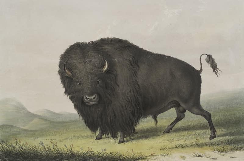 Catlin's Indian Portfolio - Buffalo Bull Grazing (1844)