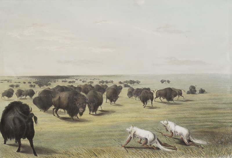 Catlin's Indian Portfolio - Buffalo Hunt Under the White Wolf Skin (1844)