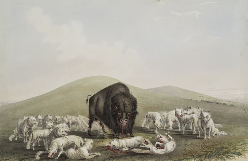 Catlin's Indian Portfolio - Buffalo Hunt White Wolves Attacking a Buffalo Bull (1844)