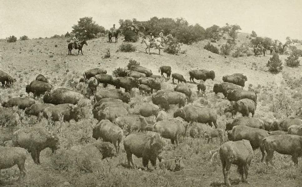 Colorado, The Queen Jewel of the Rockies - Buffalo on the Trinchera Estate, San Luis Valley (1918)