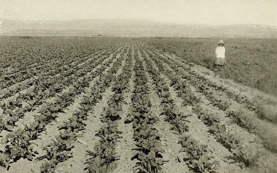 Colorado, The Queen Jewel of the Rockies - A Sugar-Beet Field (1918)