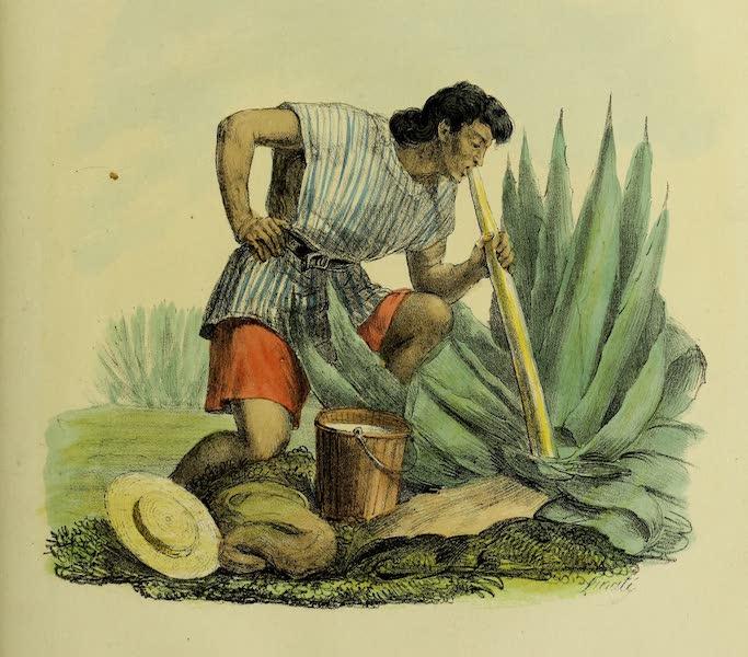 Costumes Civils, Militaires et Religieux du Mexique - Extraction du Pulque du Maguey (Aloes) au moyen d'une longue Calebasse avec la quelle on l'aspire (1828)