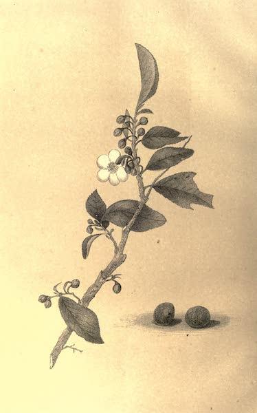 De Zieke Reiziger, or, Rambles in Java and the Straits - The Tea Plant (1853)