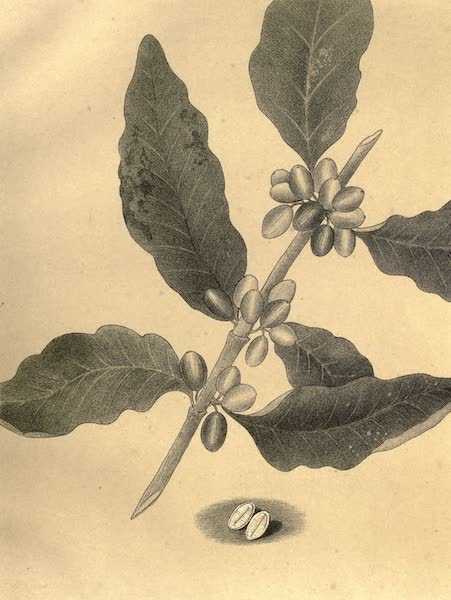 De Zieke Reiziger, or, Rambles in Java and the Straits - The Coffee Plant (1853)
