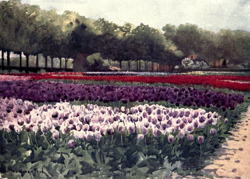 Dutch Bulbs and Gardens, Painted and Described - Darwin Tulips (1909)