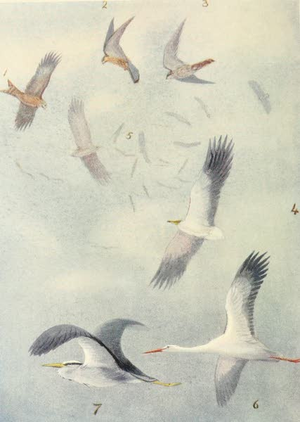 Egyptian Birds - Birds in Mid-air (1909)