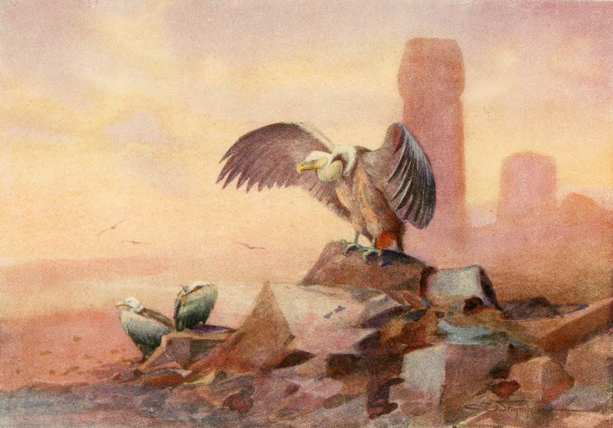 Egyptian Birds - Griffon Vulture (1909)