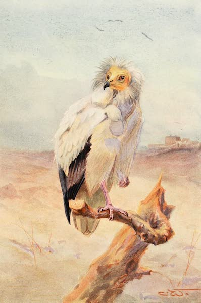 Egyptian Birds - Egyptian Vulture (1909)