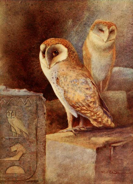 Egyptian Birds - Barn-Owl (1909)