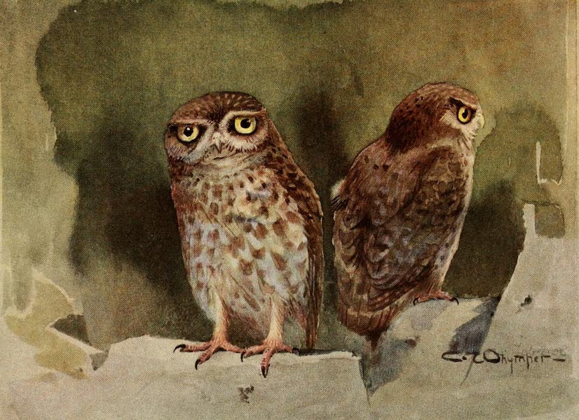 Egyptian Birds - Little Owl (1909)