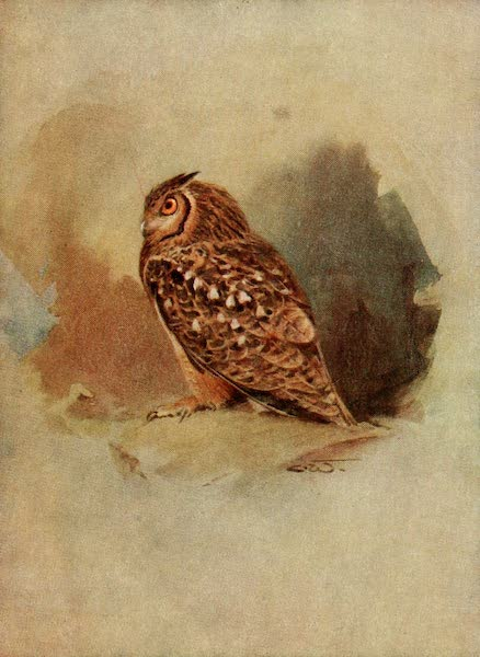 Egyptian Birds - Egyptian Eagle Owl (1909)