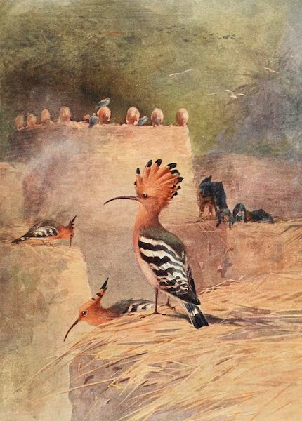 Egyptian Birds - Hoopoe (1909)