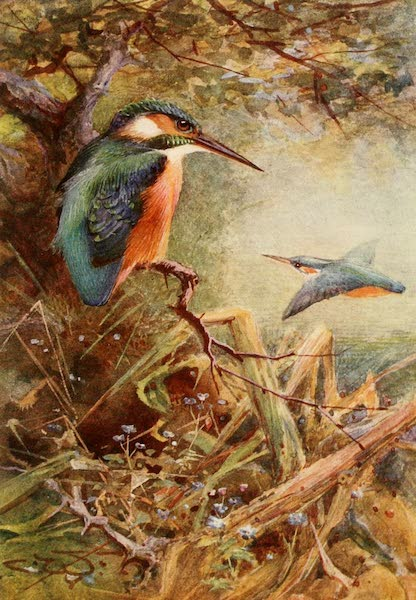 Egyptian Birds - Common Kingfisher (1909)