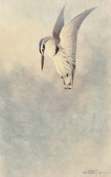 Egyptian Birds - Black and White Kingfisher (1909)
