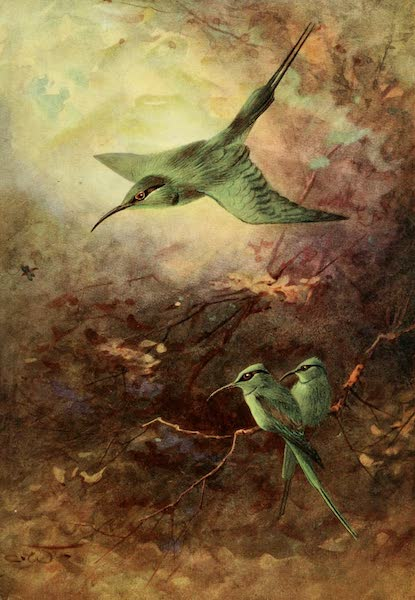 Egyptian Birds - Little Green Bee-Eater (1909)