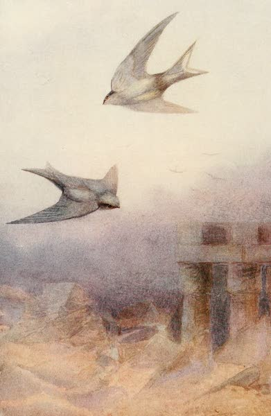 Egyptian Birds - Pale Crag Swallow (1909)