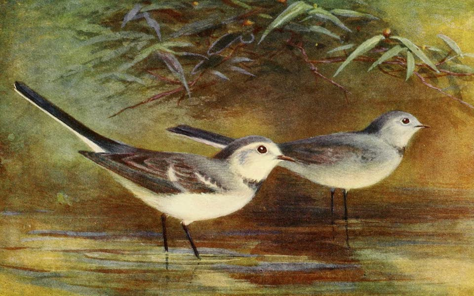 Egyptian Birds - White Wagtail (1909)