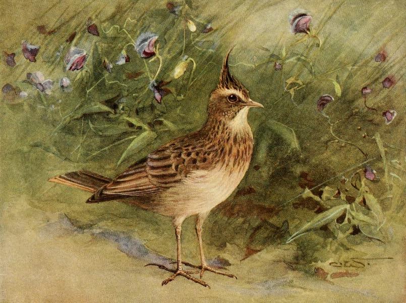Egyptian Birds - Crested Lark (1909)