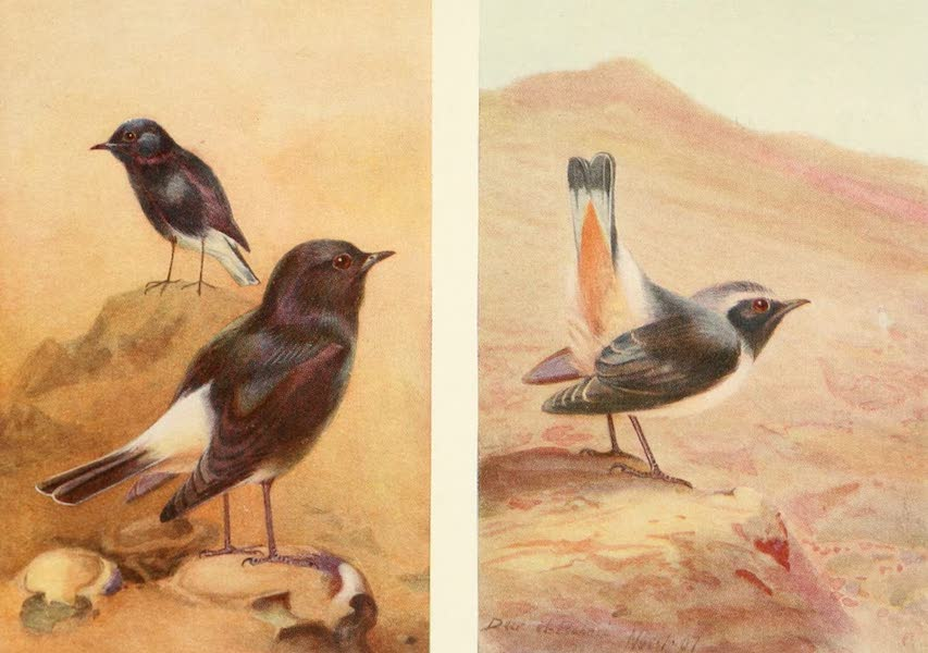 Egyptian Birds - White-rumped Chat and Rosy Chat (1909)