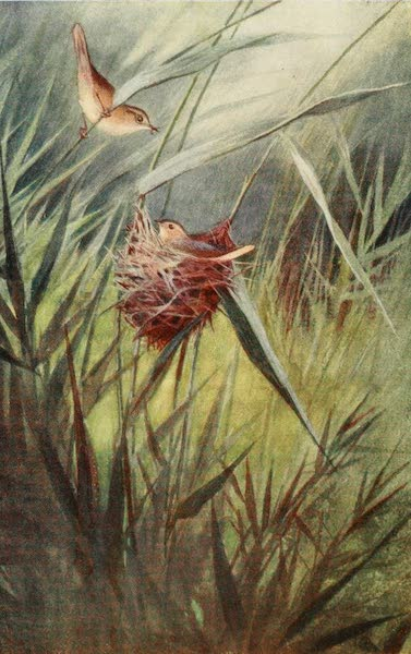 Egyptian Birds - Reed Warbler (1909)