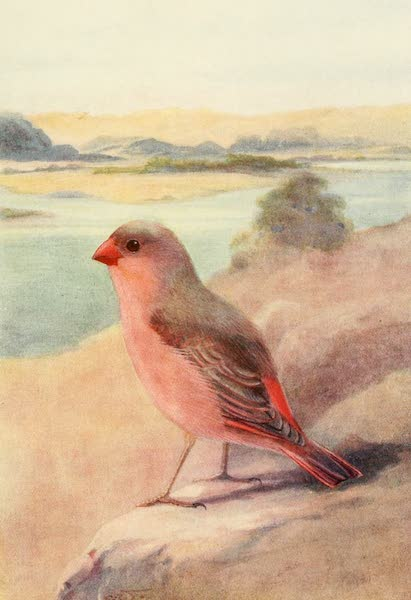 Egyptian Birds - Desert Bullfinch or Trumpeter Finch (1909)