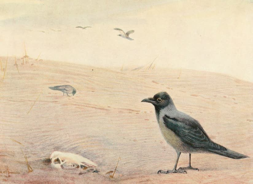 Egyptian Birds - Hooded Crow (1909)