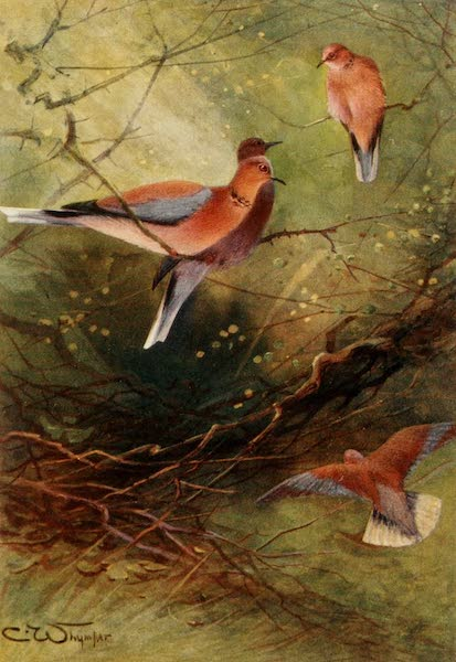 Egyptian Birds - Egyptian Palm Doves (1909)