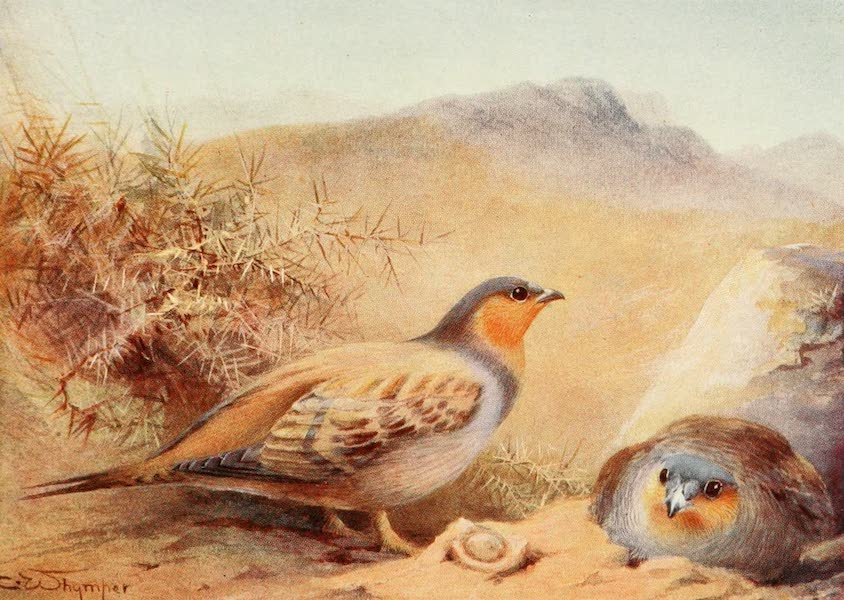 Egyptian Birds - Sand-Grouse (1909)